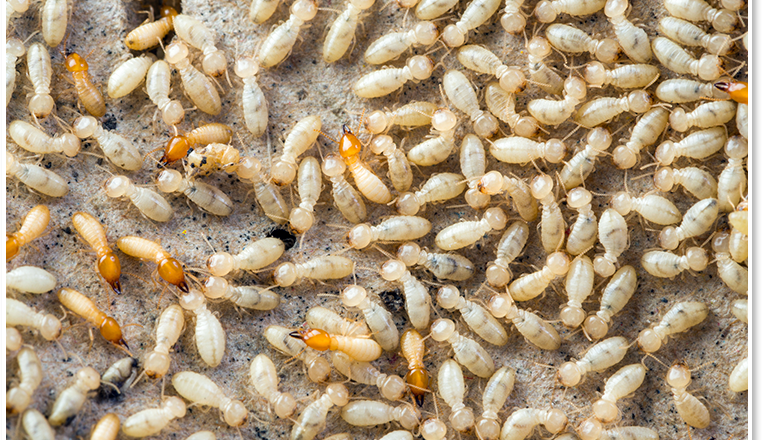termites-depositphotos31671963l-2015-1486488383